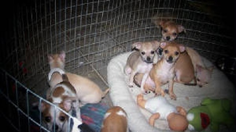 Puppies at B&B Kennels in Abbotsford, B.C., are seen in an image on its website. Facility owner Mel Gerling is being investigated by the SPCA.