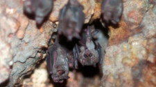 <b>Bats</b><br><br>Congregating in the thousands, northern bat species will spend their winters tucked away in caves where they can maintain a lowered body temperature. Cave choice is crucial for bats, as a cave that is either too warm or too cold may lead to death.<br><br>(Photo: Marylandzoo.org)