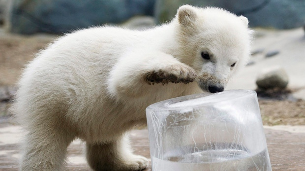 Feb. 3, 2012 file photo of a polar bear cub at the Toronto Zoo