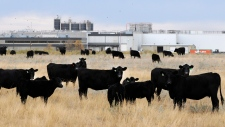 Beef cattle in pasture beside XL Foods' Lakeside Packers plant at Brooks, Alberta on Monday, Oct. 1s