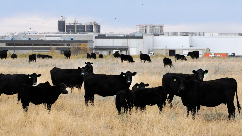 Beef cattle in pasture beside XL Foods' Lakeside Packers plant at Brooks, Alberta on Monday, Oct. 1st, 2012, 2012. (Larry MacDougal / THE CANADIAN PRESS)