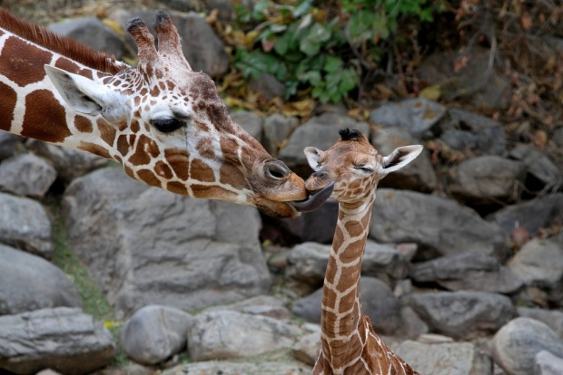 Mother giraffe Kipenzi licks her baby girl shortly after birth. The new baby giraffe and her mother went on display at Utah's Hogle Zoo for the first time on Oct. 3, 2012. (Utah's Hogle Zoo)