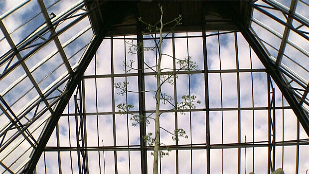 A 35-year-old Agave Americana plant is preparing to bloom for the first and only time before it dies at the Muttart Conservatory.
