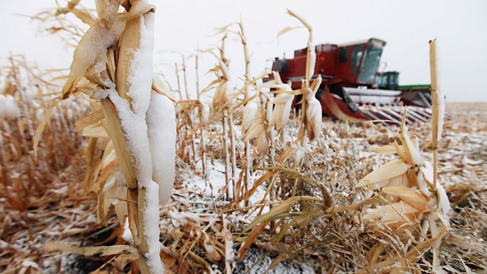 Snow-covered corn remains unharvested and farm equipment sits idle beside Highway 12 near Steinbach, Man. as an early snowstorm unexpectedly hit the province, Thursday, Oct.4, 2012. (John Woods / THE CANADIAN PRESS)