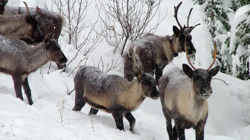 In this November 2005 file photo provided by the British Columbia Forest Service are part of a Southern Selkirk caribou herd moving north through the Selkirk Mountains about three miles north of the Washington state border into Canada. (AP Photo/British Columbia Forest Service, Garry Beaudry, File)