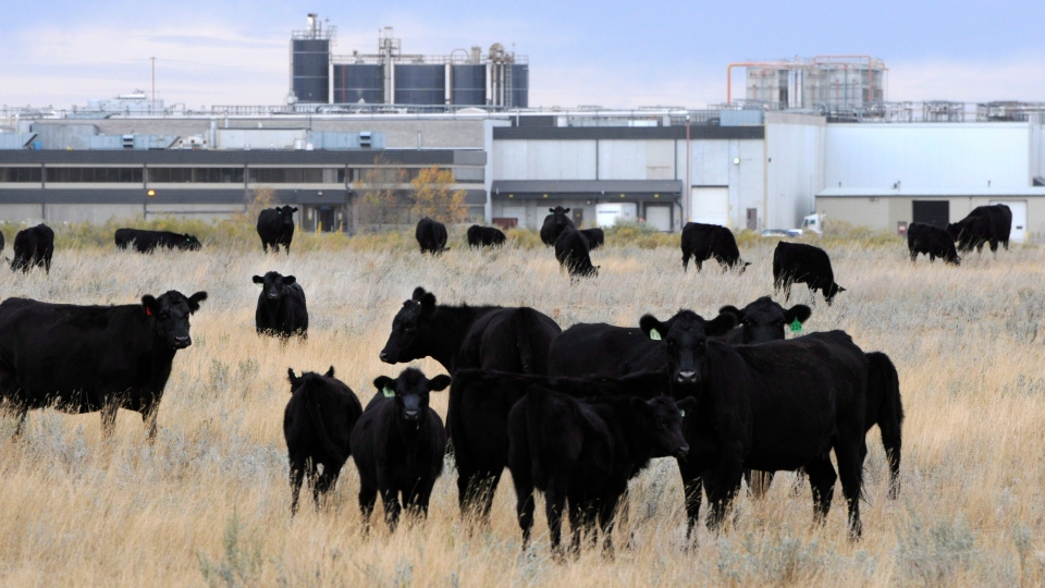 Cattle are shown in pasture beside the XL Foods' Lakeside Packers plant in Brooks, Alta., on Monday, Oct. 1, 2012. (Larry MacDougal / THE CANADIAN PRESS)