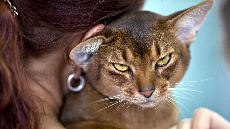 An Abyssinian cat waits to be examined by a referee during an international feline beauty competition in Bucharest, Romania, Saturday, Sept. 29, 2012. (AP / Vadim Ghirda)