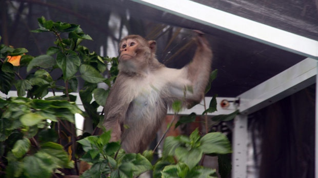 This Sunday, March 21, 2010, picture shows a monkey in a swimming pool enclosure in St. Petersburg, Fla. Wildlife officials have been searching for an elusive monkey in the Tampa Bay area. (AP Photo/St. Petersburg Times, Renee Barth)