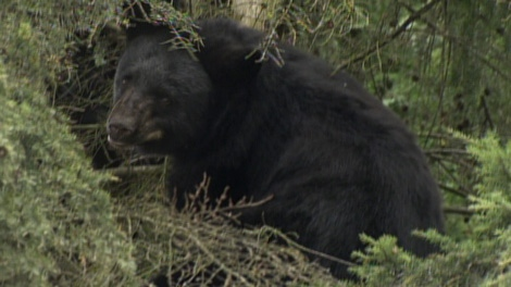 A family of black bears spent the day in Coquitlam backyards. Oct. 8, 2010. (CTV)