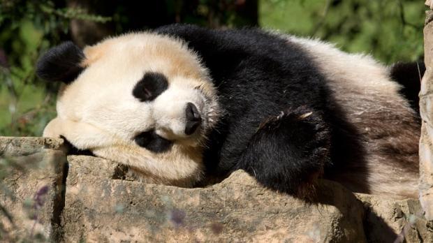 Giant female panda Mei Xiang.