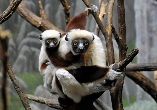 Lemur Extinction