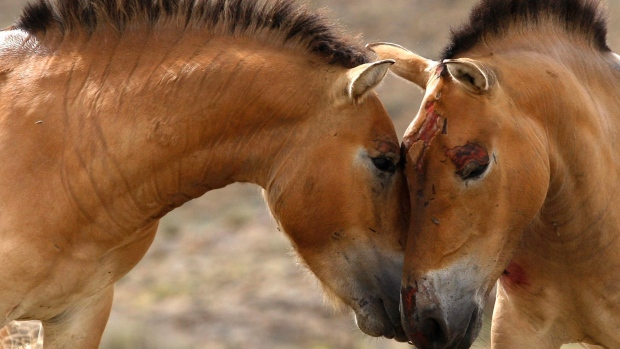A pair of  Przewalski's horse