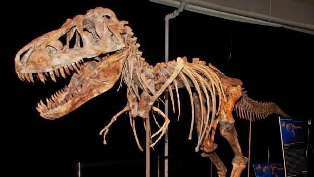 Tyrannosaurus bataar dinosaur fossil
